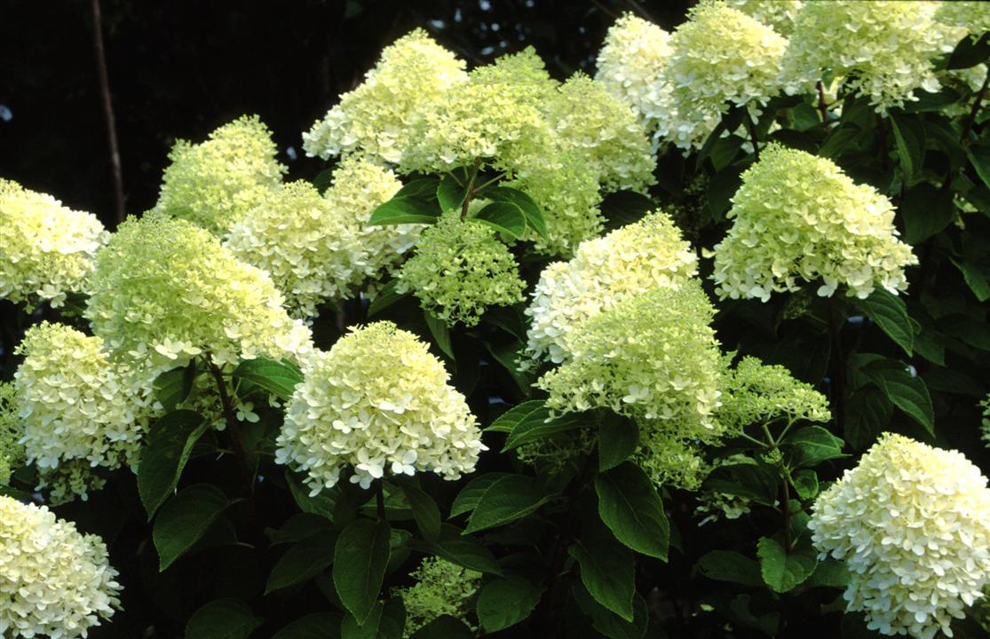 hydrangea paniculata 39 limelight 39 auf stamm. Black Bedroom Furniture Sets. Home Design Ideas