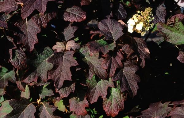 3.quercifolia burgundy 2