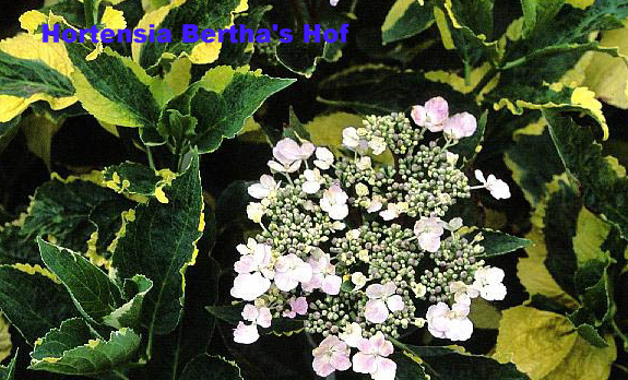 4.Macrophylla 'Lemon Wave''met Naam