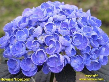 5.hovariahopcorn