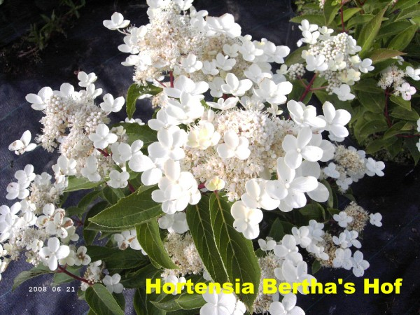 Dharuma