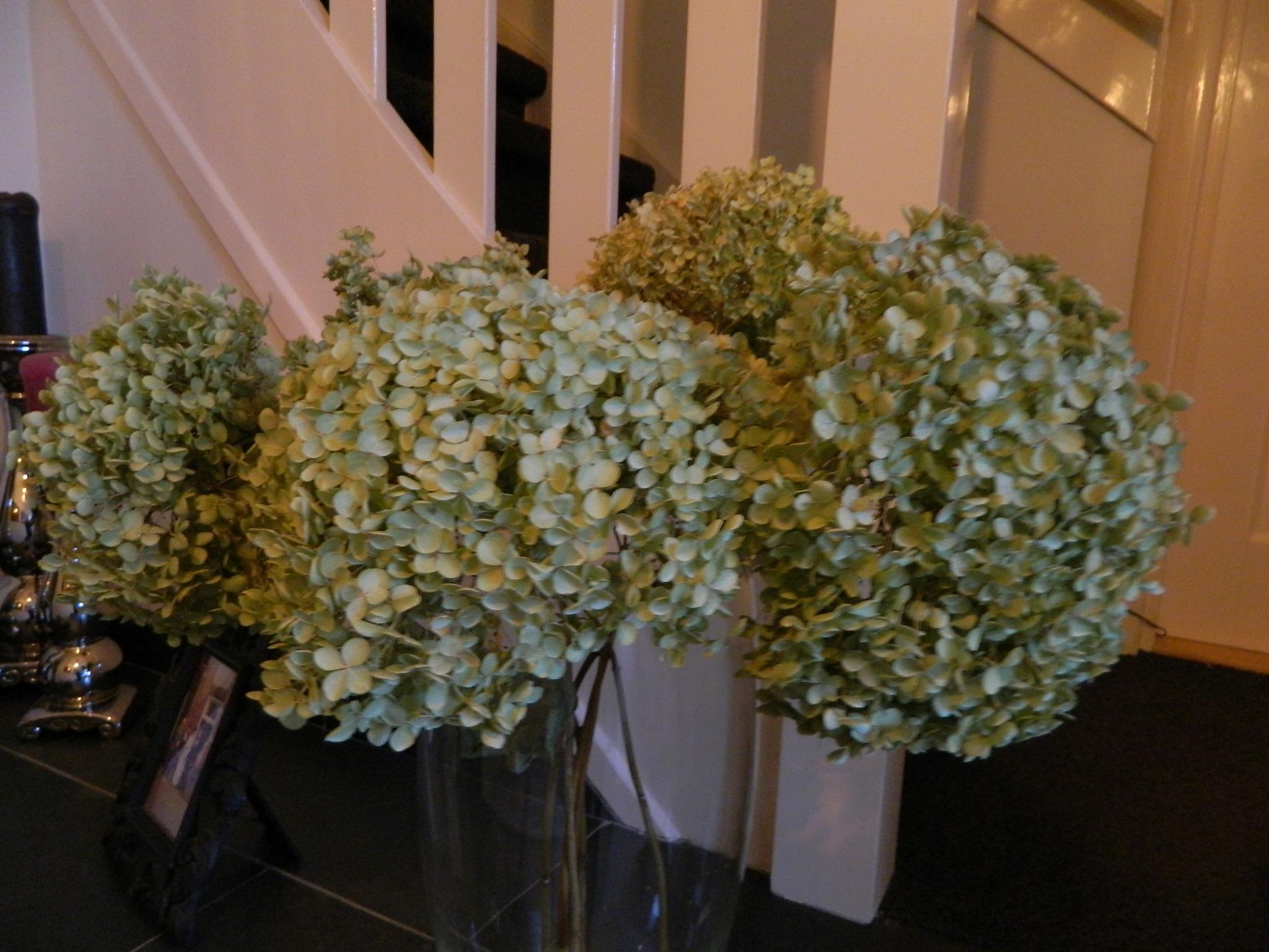 Hortensien Trocknen trockenblumen