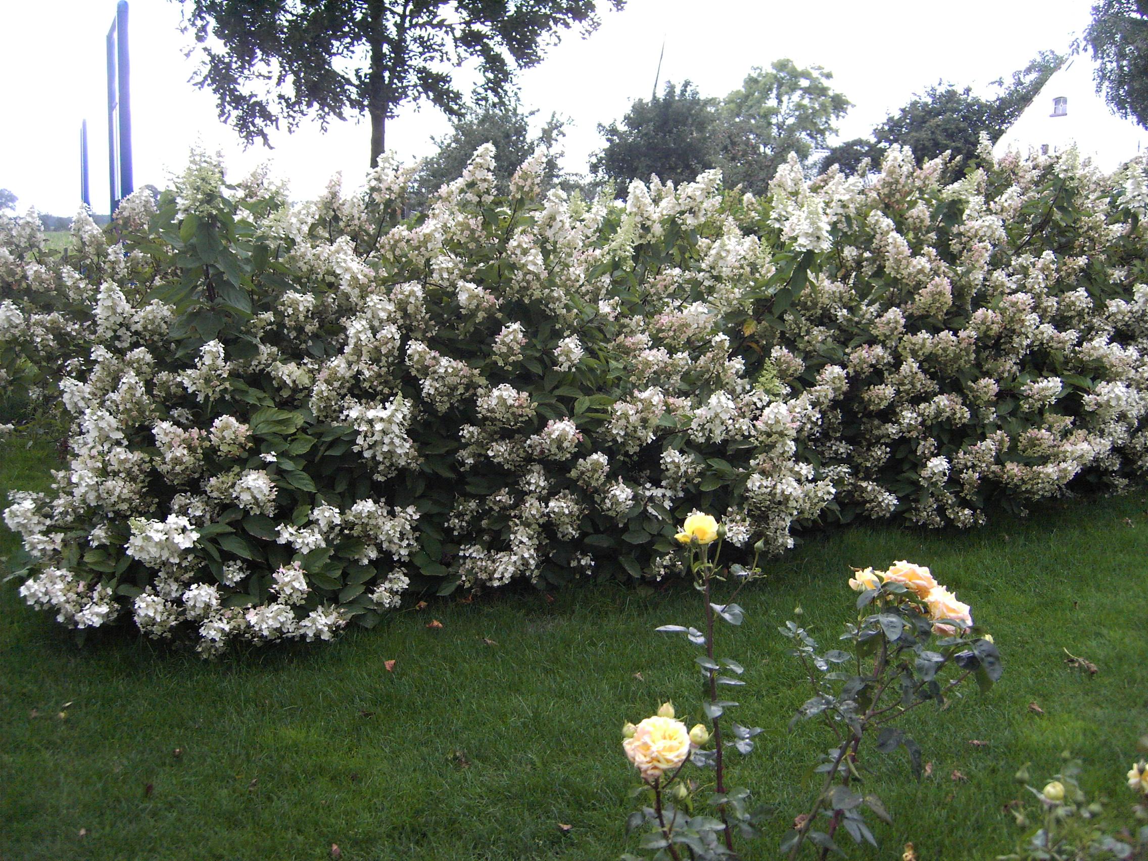 Snoeien hortensia bertha 39 s hof for Tuin snoeien