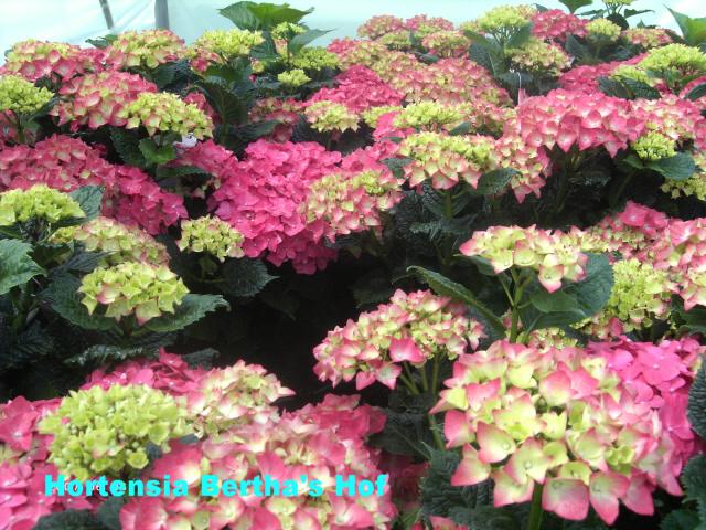 hydrangea macrophylla 39 leuchtfeuer 39. Black Bedroom Furniture Sets. Home Design Ideas