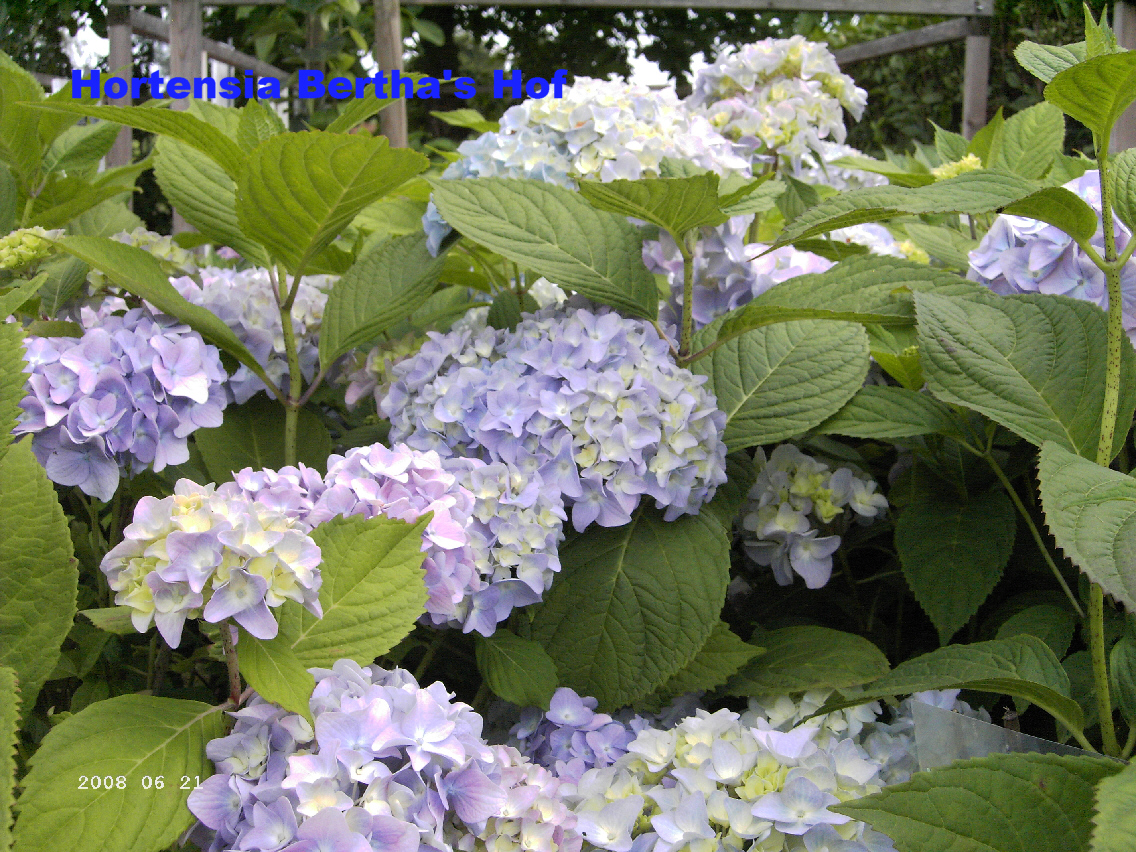 hydrangea macrophylla 39 nikko blue 39. Black Bedroom Furniture Sets. Home Design Ideas