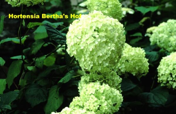 arborescens grandiflora