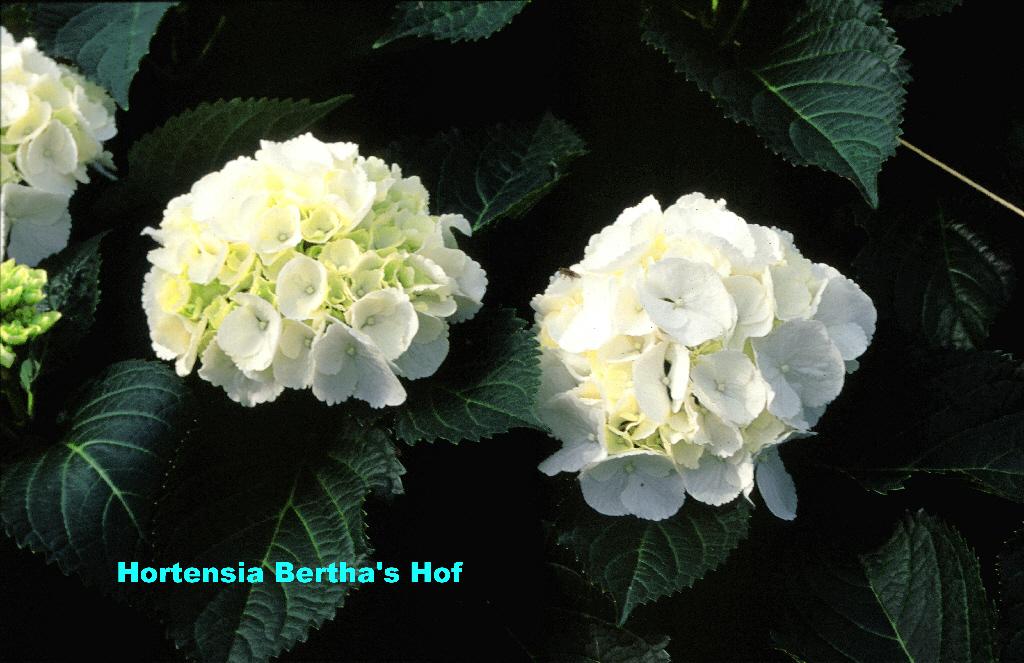 hydrangea macrophylla 39 schneeball 39. Black Bedroom Furniture Sets. Home Design Ideas