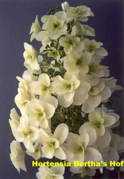 quercifolia hovaria