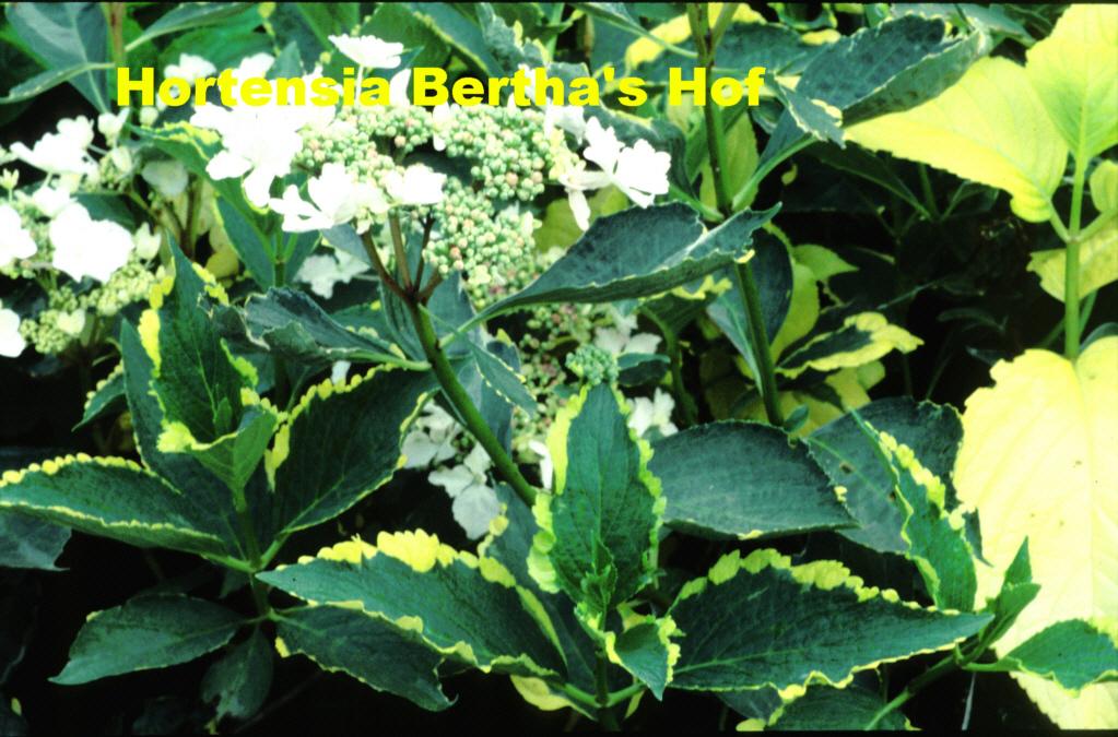 hydrangea macrophylla 39 tricolor 39. Black Bedroom Furniture Sets. Home Design Ideas