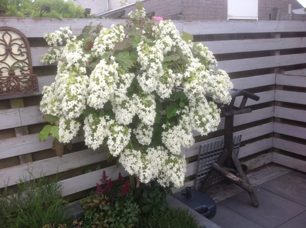 hydrangea quercifolia hovaria auf stamm. Black Bedroom Furniture Sets. Home Design Ideas