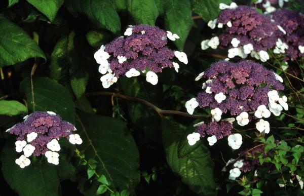 2.aspera macrophylla2