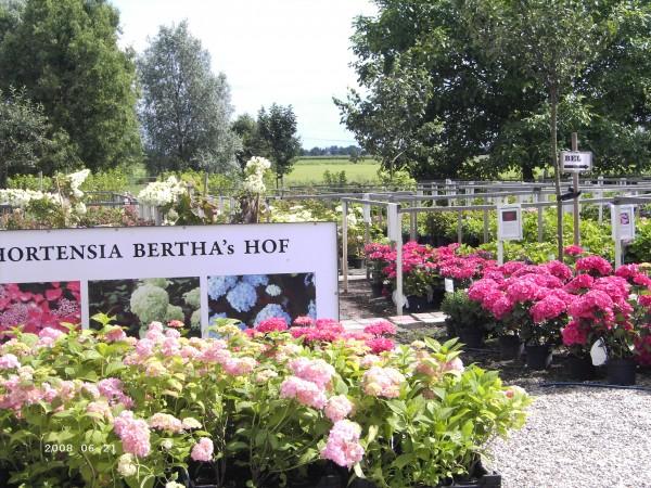 Algemene hortensia