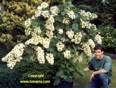 5.Quercifolia PARASOL2