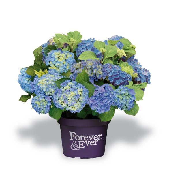 Forever en Ever blauw